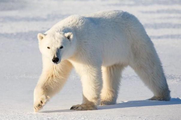 Почему медведя назвали медведем Версии происхождения названия медведя