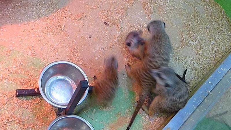 Ручной Зоопарк Ч1 Сурикаты