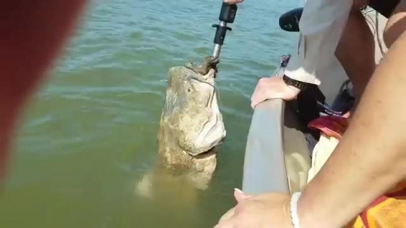 Сом подплыл к людям, чтобы они достали застрявшую в пасти черепаху » Freewka.com - Смотреть онлайн в хорощем качестве