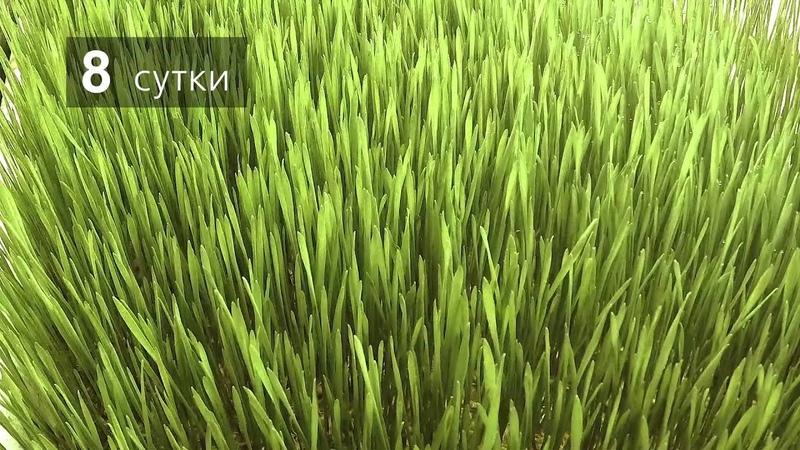 Рост пшеницы в гидропонной установке РЦ НООСФЕРА