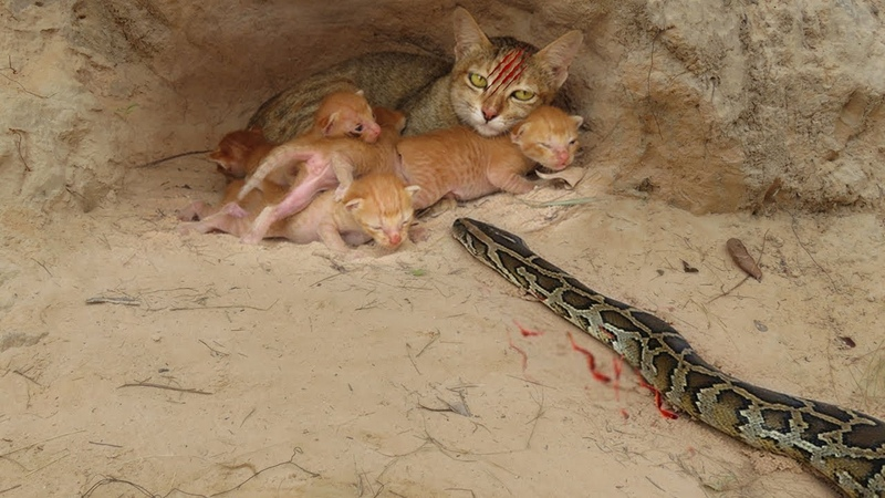 Primitive Human Saves Family Cats From Big Snake Attack Snake Attack Cat Nest