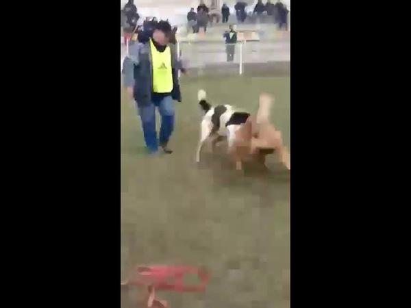 DOGS FIGHT. Алапар победа в 3 туре чемпионата мира!