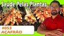 Saúde Pelas Plantas Açafrão pedra na vesícula artrite alergias câncer Alzheimer