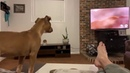 Pit bull puppy reaction to The Lion King feet worship