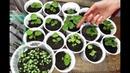 Как посадить ремонтантную клубнику землянику на рассаду зимой в январе-феврале?