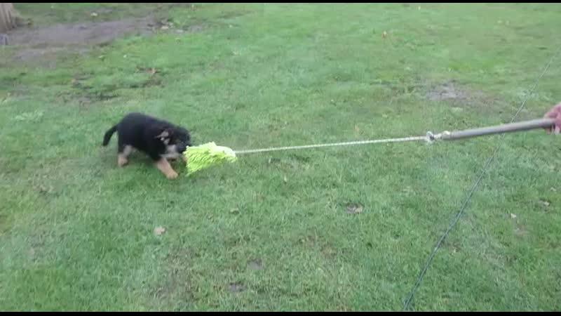 Syrus aus der Brunnenstraße 2 5 месяца german shepherd dog