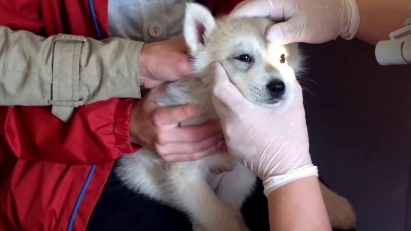 Офтальмологическое обследование 2-х месячного щенка сибирского хаски для исключения наследственных глазных заболеваний