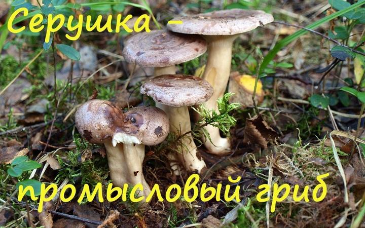 Млечник обыкновенный - промысловый гриб.