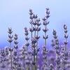 Лечебные травы Алтая. Болиголов, аконит, усьма