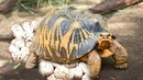 Radiated tortoise building a nest and laying eggs- Baby Turtle hatching