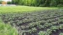 Применение Биогумуса и Гумистара для борьбы с колорадским жуком на картофеле 26 05 2019г