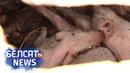 Тысячы свіней гінуць з голаду Тысячи свиней гибнут от голода Белсат