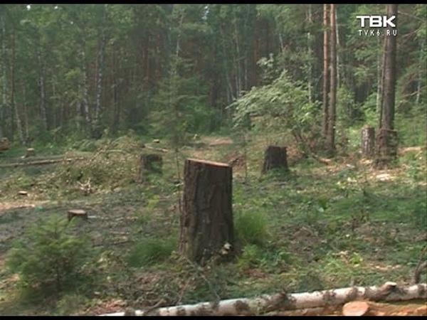В Манском вырубают сосновый бор