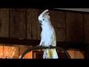 Попугай какаду передразнивает хозяина и ржот диким смехом