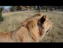 Живого места нет на львах. У Алиши новые раны на боку в крови