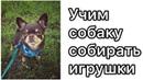 Учим собаку собирать монетки в миску/ Как научить собаку собирать игрушки