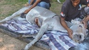 Donkey with chest slashed open rescued