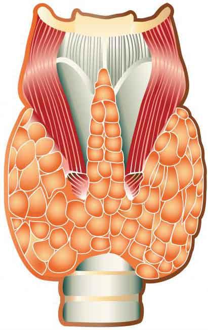 Сверхактивный триоид может вызвать чрезмерное потоотделение.