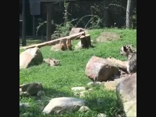 Mama snow leopard acting scared when a little hunter tries to sneak up on her.