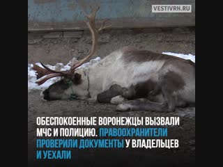 В воронежской промзоне умер северный олень