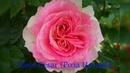 Rose Cesar Роза Цезарь
