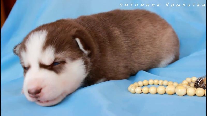 Предлагаем девочку щенка хаски шоколадно-белую, родилась 27 января 2019 года