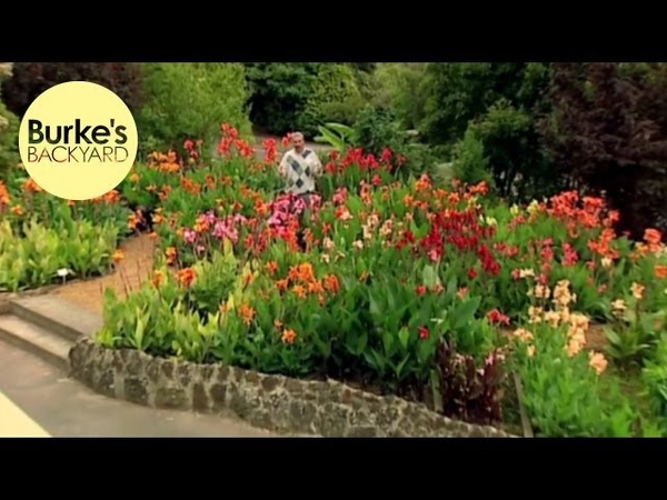 Burkes Backyard, Canna Lilies