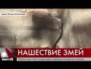 В Кирове нашествие змей 21.09.2018