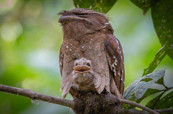 Вылупившийся птенец впервые видит мир и кажется обрадованным в отличие от матери