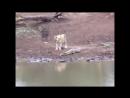 Маленький нильский крокодил берет на себя двух львиц