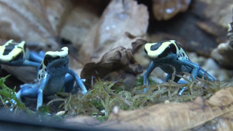 Ядовитые лягушки в Приморском океанариуме