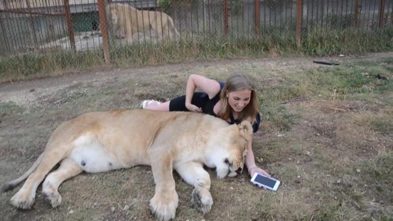 Олежка выгнал меня из машинки .по-моему львы тоже смотрят интернет !