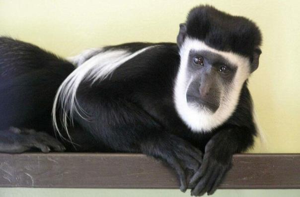Одинокий колобус ищет родственную душу И надеется, что 14 февраля ему повезетВ зоопарке «Друзилла» в Истборне (графство Сассекс, Великобритания) живет всеми любимая обезьяна колобус по имени