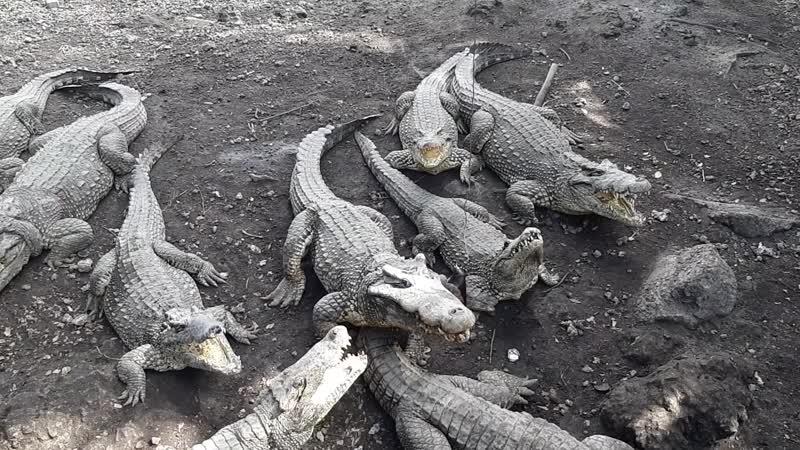 Кормление кубинских крокодилов 2019