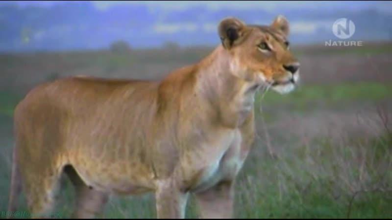 BBC Львы исчезают из Африки Познавательный природа животные 2004