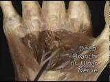 1.3.19 срединный нерв и локтевой нерв на предплечье и кисти (4.06)