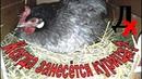 Как узнать когда занесётся курица Как отличить несушку от пустышки