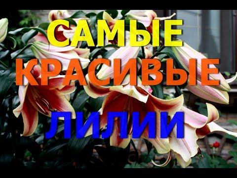 Самые красивые и ароматные лилии