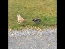 Ворона клюнула в зад собаку😅