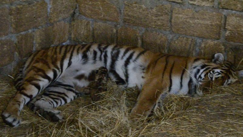 Тигрица кормит малыша Мы в вольере Tigress feeds the baby We are in the aviary