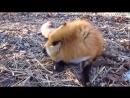 Очень смешная лиса