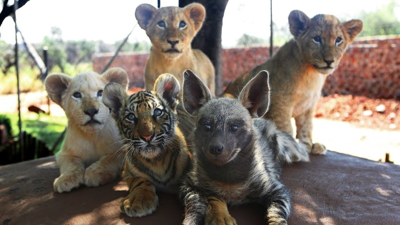 Baby Animals: Baby Lion, Baby Tiger Baby Hyena Cub Animal Cuteness!