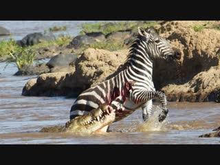 Нильский крокодил разрывает зебру