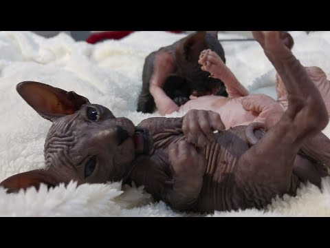 Sphynx cat mommy cleaning the kittens pee / DonSphynx