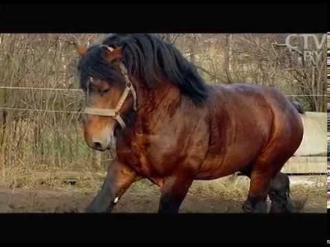 Богатырские кони где в Беларуси разводят чистокровных русских племенных тяжеловозов