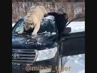 кто хочет тигра ???