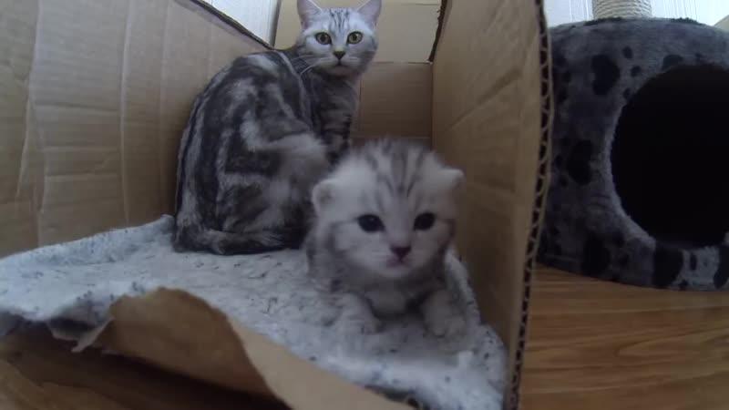 Кошка видит опасность. Котёнок негодует. Защита котёнка) kitten protected (1).mp4