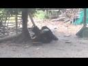 Pato brigando com o galo