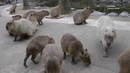 Capybara Dinner Arrives at Nagasaki Bio Parkカピバラディナーが長崎バイオパークに到着