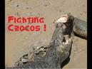 Самец гребнистого крокодила и самка конкурируют за кусок мяса